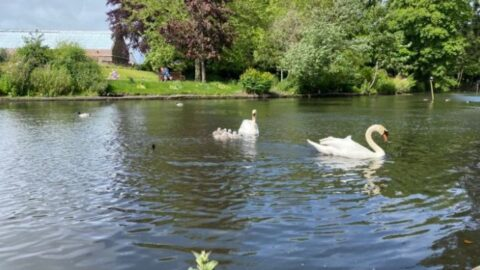 Appeal after yobs threaten Botanic Gardens swans and climb on school roof