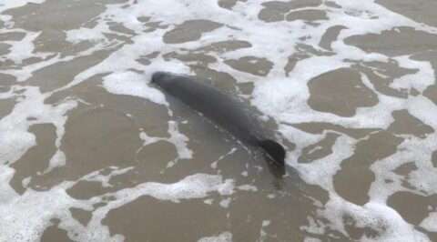 Porpoise stranded at Southport Beach rescued by Southport Lifeboat and Coastguard