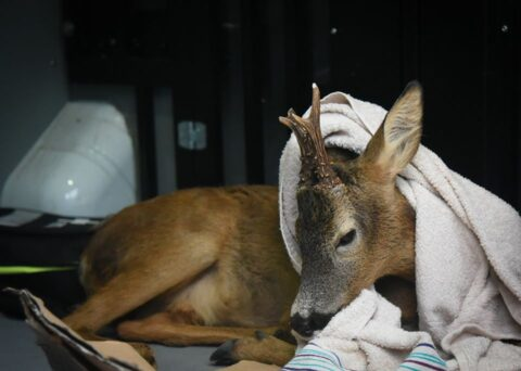 Deer rescued by Southport police after collision with vehicle in Formby