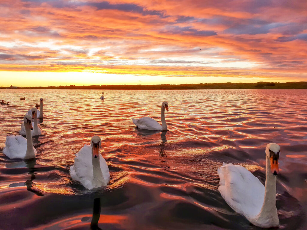David Jones winning entry of Swans at Sunset beat over 180 other entries in the Compassion Acts photo competition, in association with Stand Up for Southport