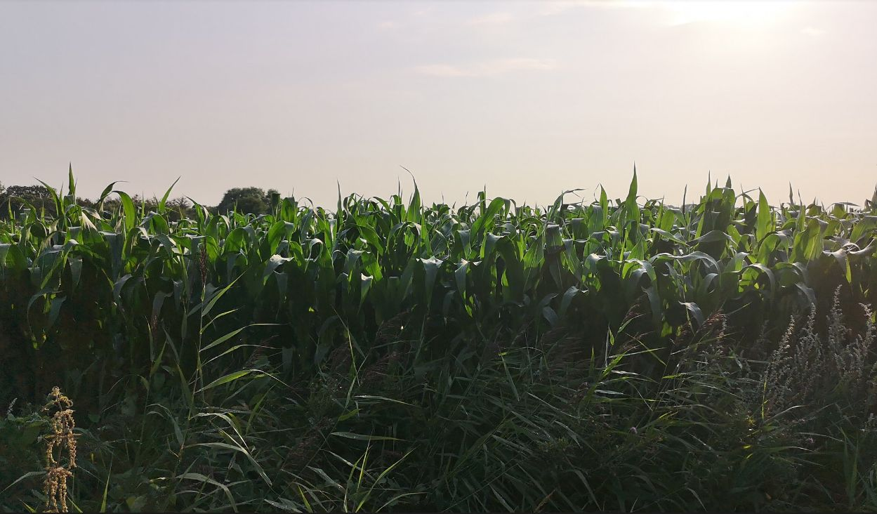 The corn field where corn is grown for the Forgan Distillery whiskey