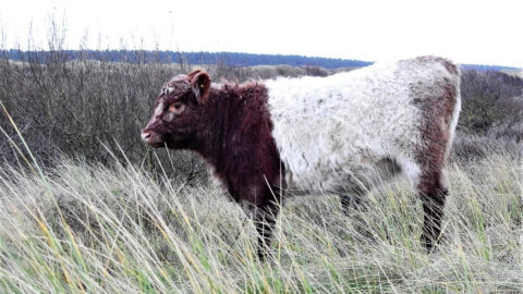 Sheep and cattle move onto Southport Nature Reserves this week