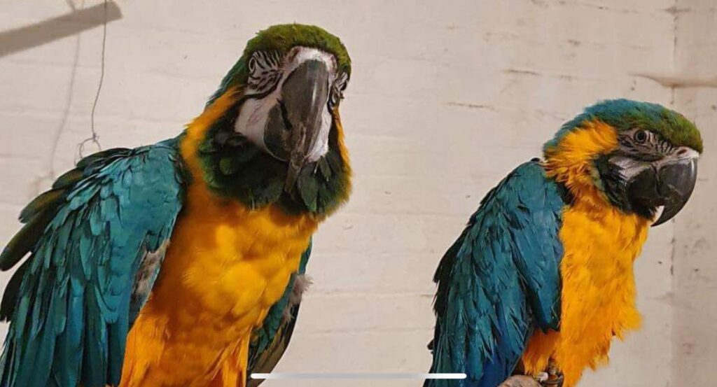 Leo (left) and his new mate at Botanic Gardens Aviary in Churchtown in SouthportLeo (left) and his new mate at Botanic Gardens Aviary in Churchtown in Southport