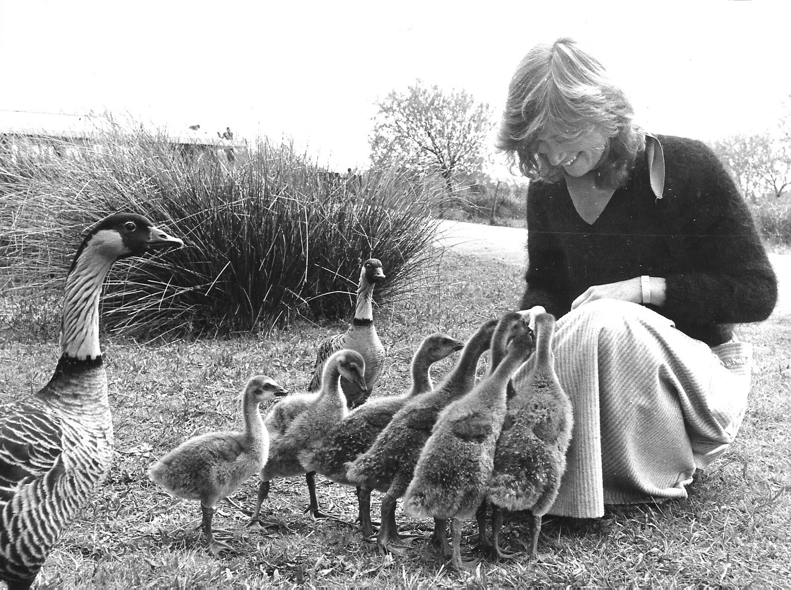 New goslings were a delight for visitors to WWT Martin Mere Wetland Centre in Burscough on 8 May 1984