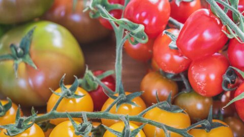 Why you should NEVER store your tomatoes in the fridge reveals award winning grower