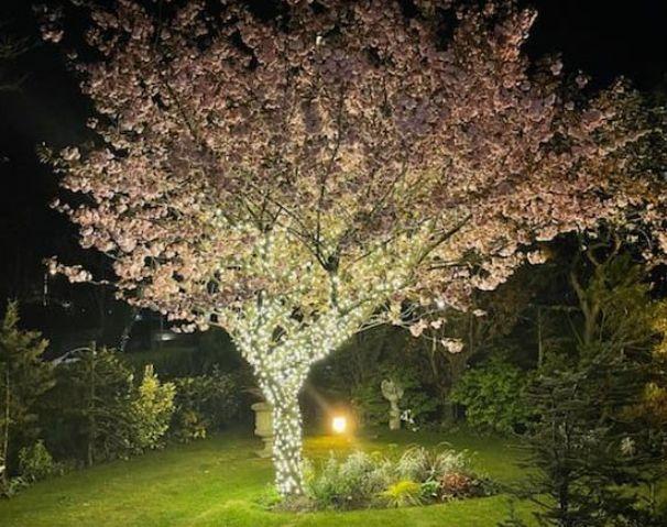 A cherry blossom tree lit up by IllumiDex UK Ltd